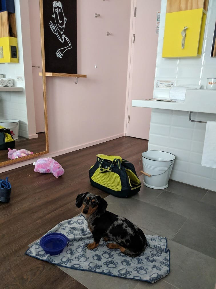 dachshund puppy in vienna hotel