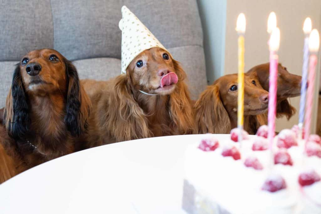 Long haired dachshunds about to eat dog birthday cake