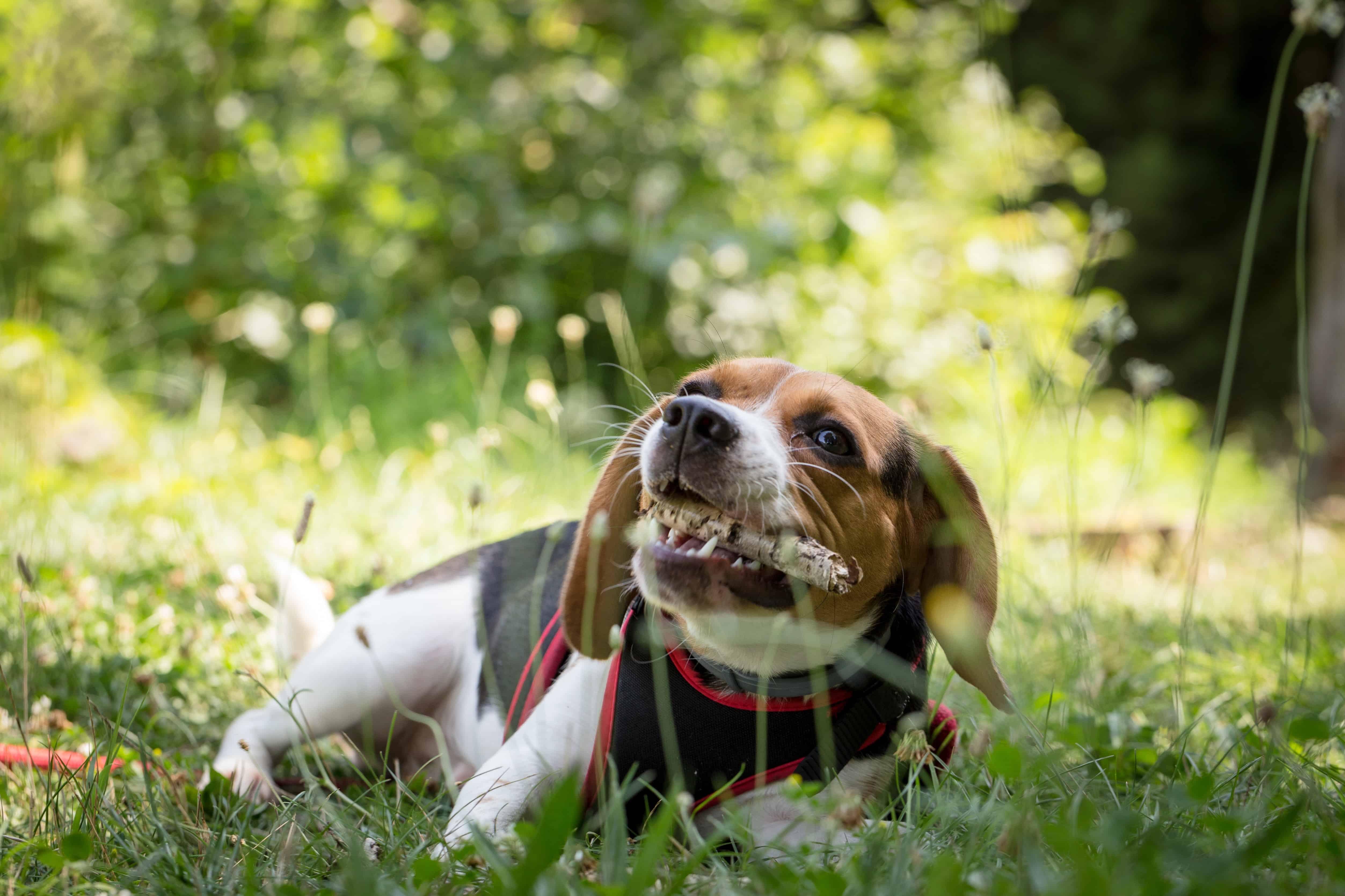 dog extreme chewer