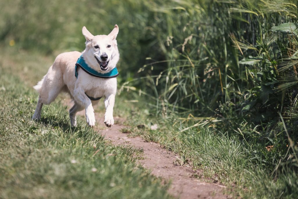 dog running in tall green grass wearing a green collar.