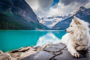 samoyed dog in banff national park in canada