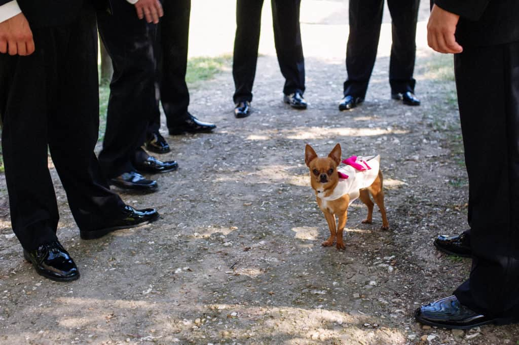 a female chihuahua in a pretty dress surrounded by the best men at the ceremony