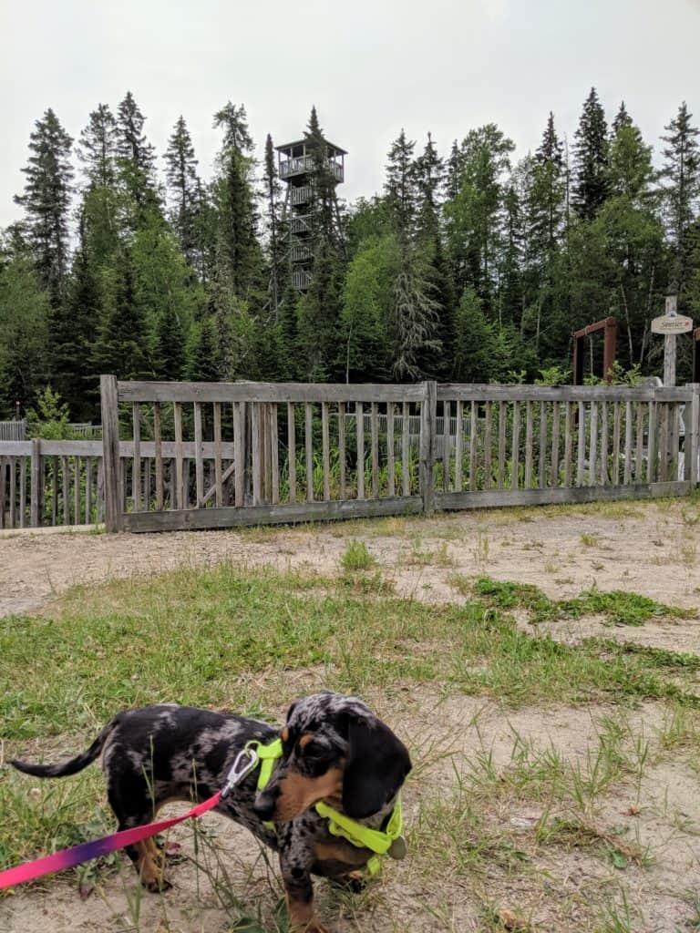Mocsing le dachshund qui se balade dans les sentiers du moulin des pionniers