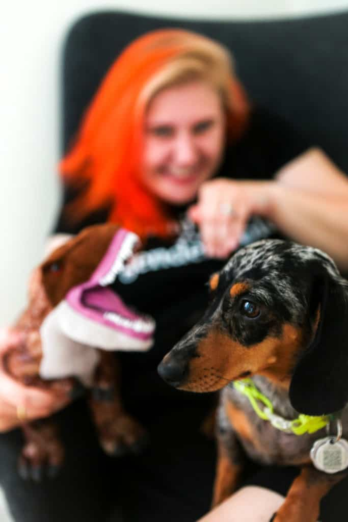 miniature dachshund is not impressed by t-rex toy