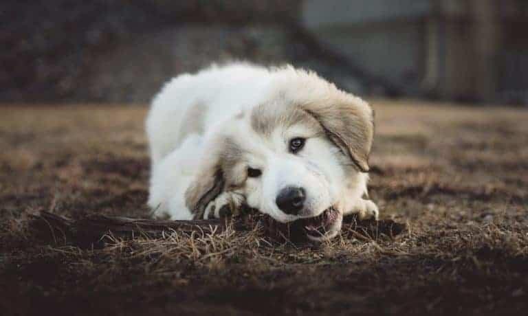 les chiens aiment mâchouiller tout ce qui bouge