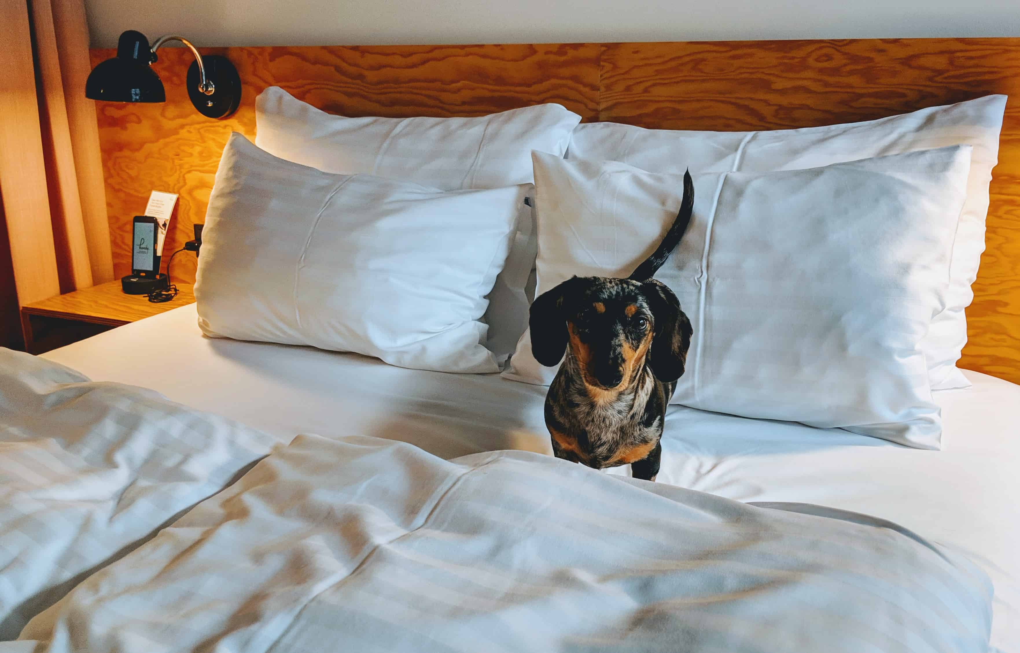 miniature dachshund happy in a hotel bed