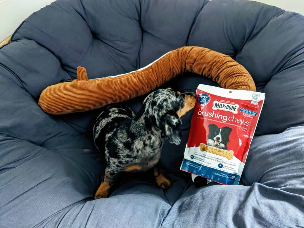 Mocsing in the papasan chair with a plushie Dachshund and some milkbone treats