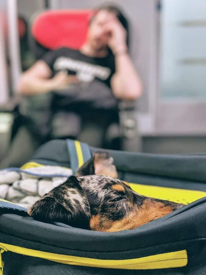 un petit chien heureux dans son sac en voyage