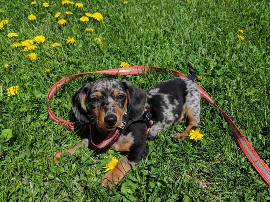 comment utiliser un harnais pour chien
