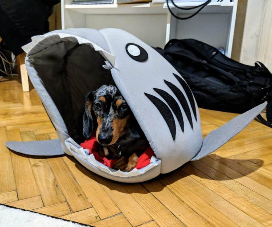 mocsing the miniature dachshund