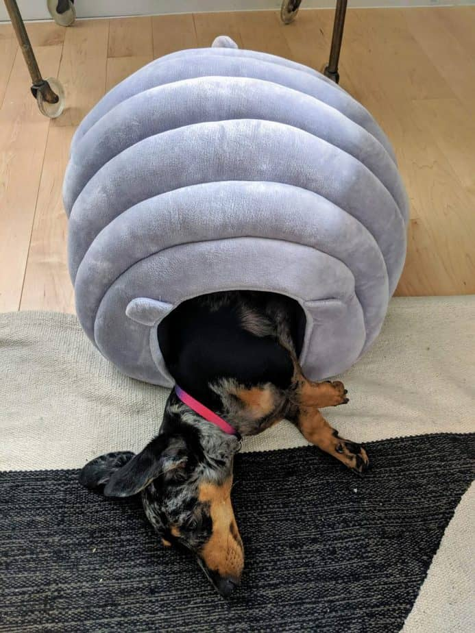 miniature dachshund in dog house. She loves being halfway in and halfway out