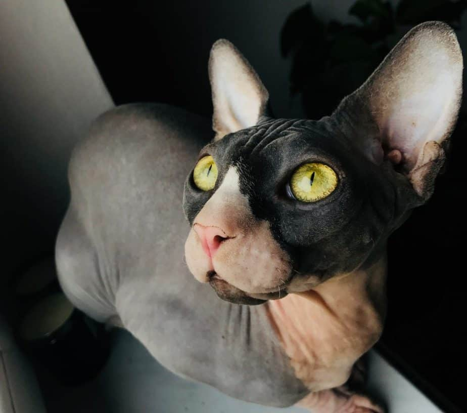 black cat without hair and with gold eyes and big ears