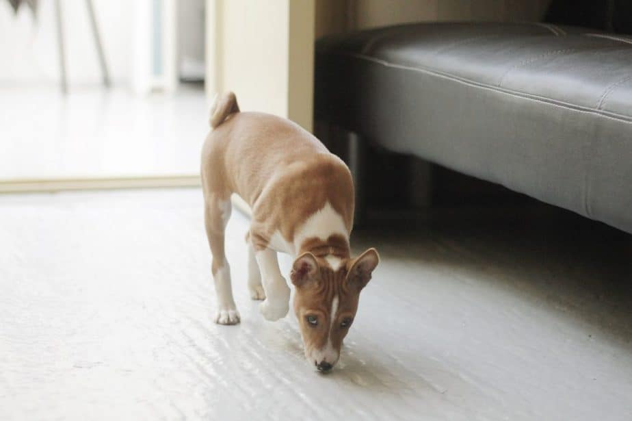 basenji puppy sniffing the ground