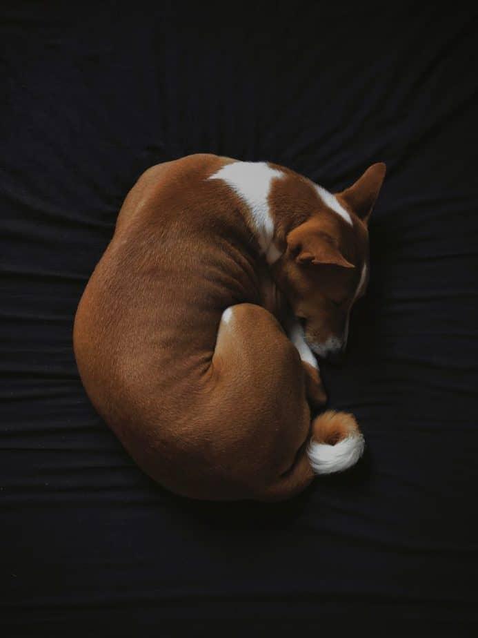 basenji sleeping in a donut form on black background