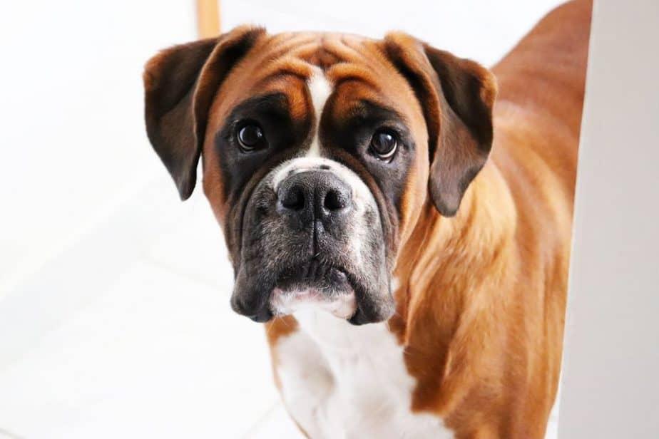 boxer dogs' origins