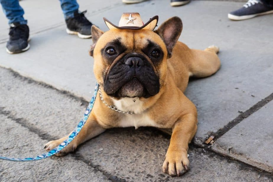 Why Do French Bulldogs Sit Funny?