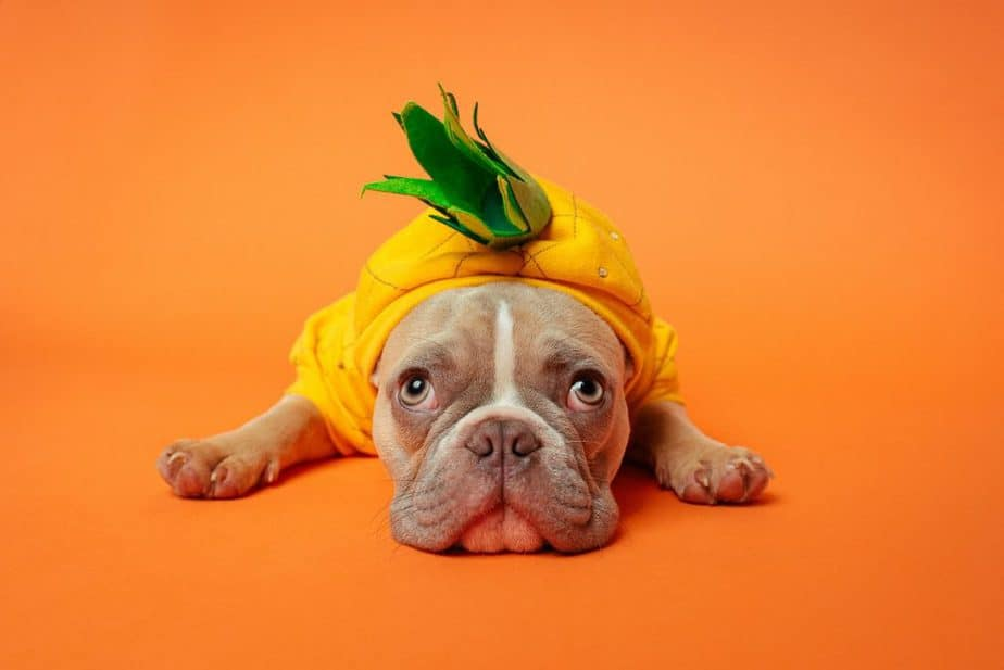 What Colours Do French Bulldogs Come In?