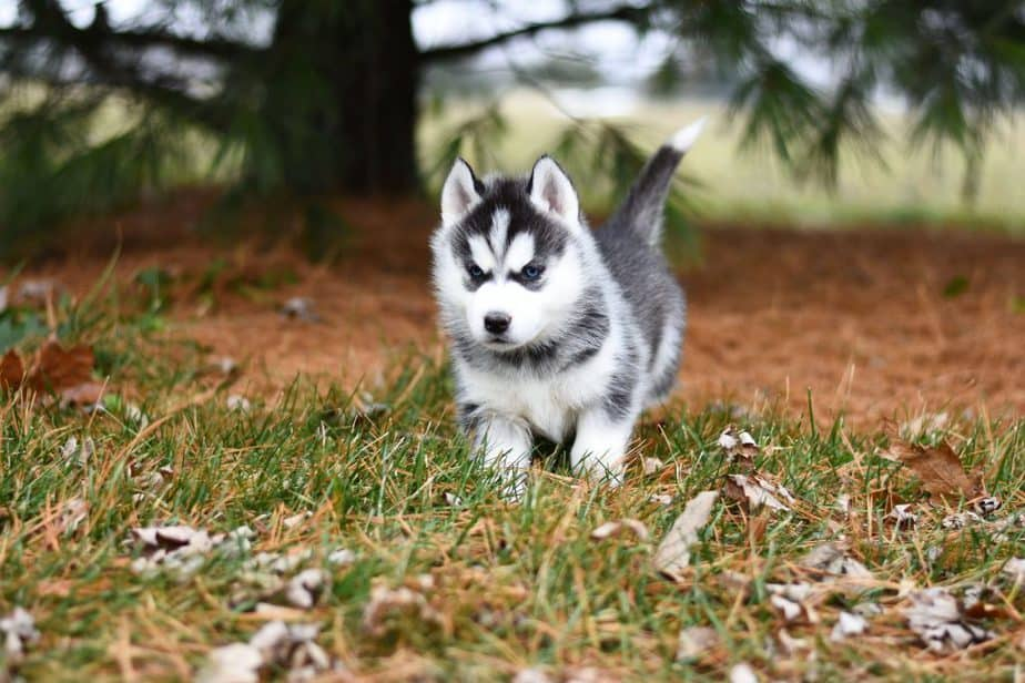 huskies are playful and affectionate