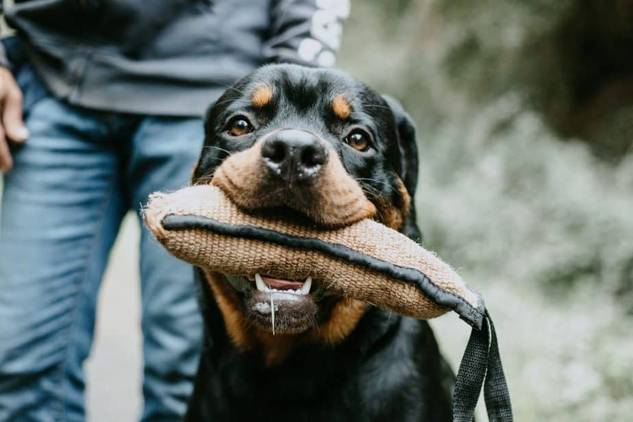 Is the Rottweiler the right dog for me?