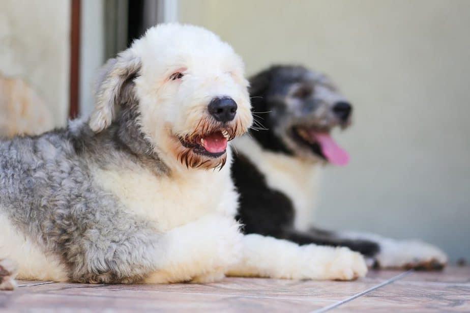phantom vs tuxedo poodles