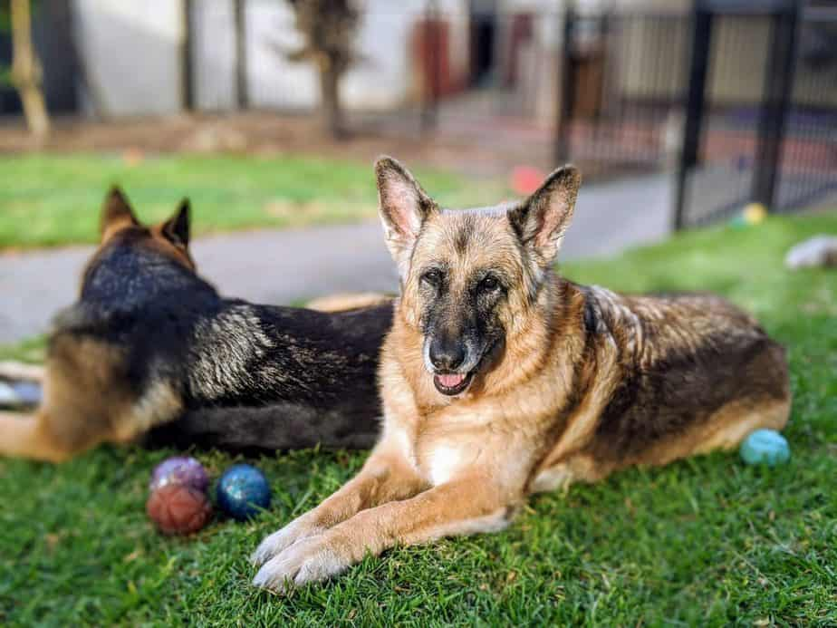 two old german shepherds laying down