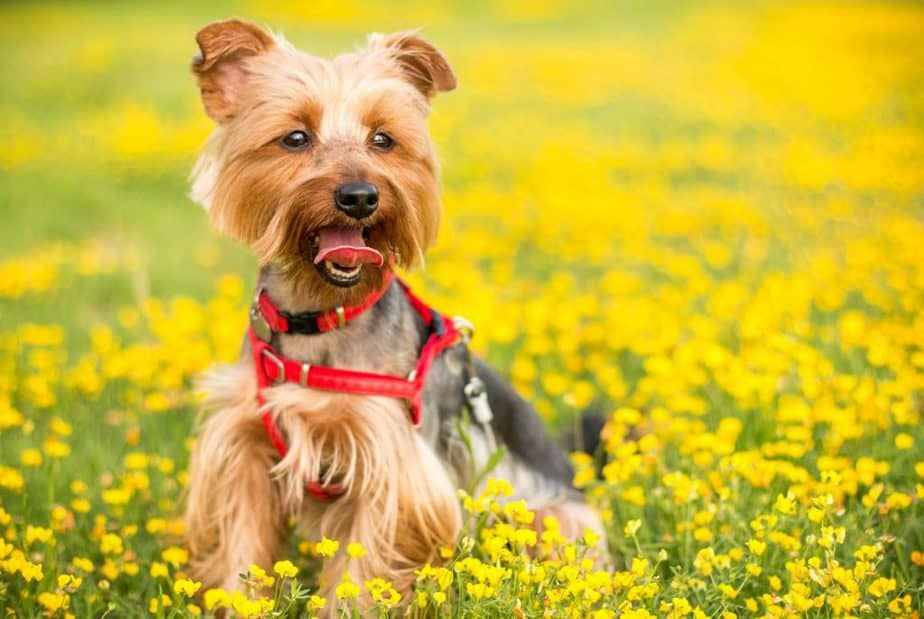 Why are Yorkies such a Small Breed?