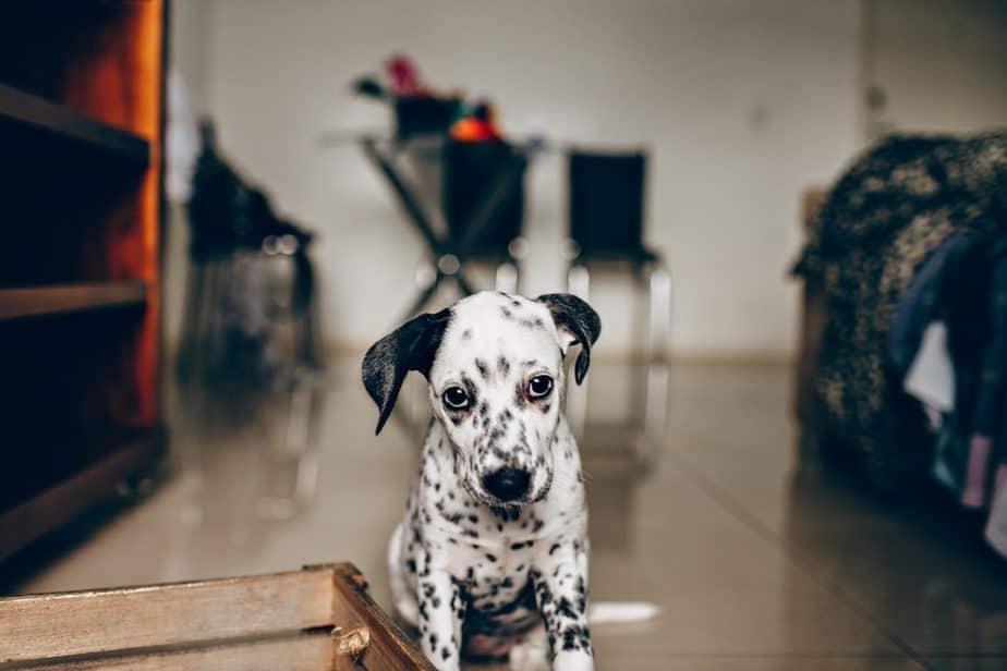 dalmatian puppy in apartment