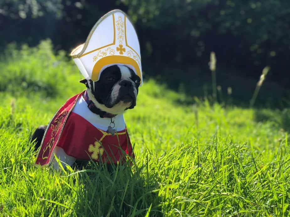 boston terrier dressed as the pope in the grass