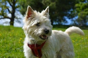 pretty white female cairn terrier