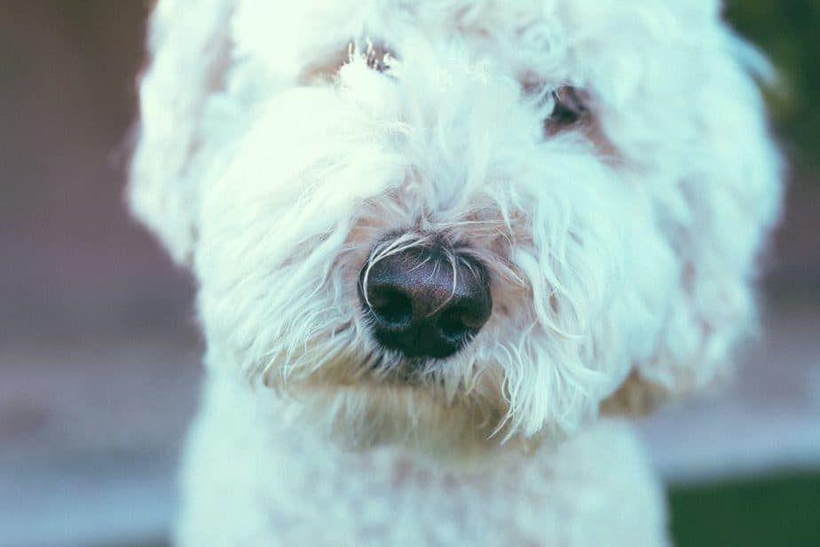 white cockapoo up close