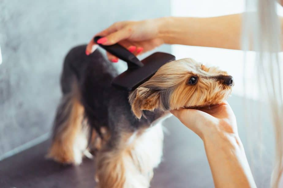 combing the head of a yorkshire terrier