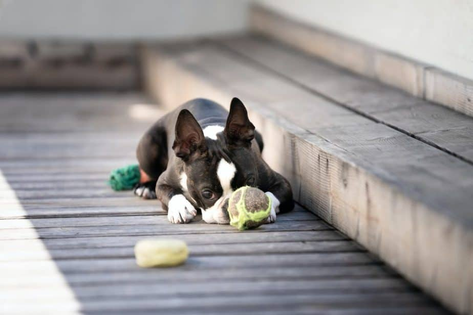 boston terrier playing outside