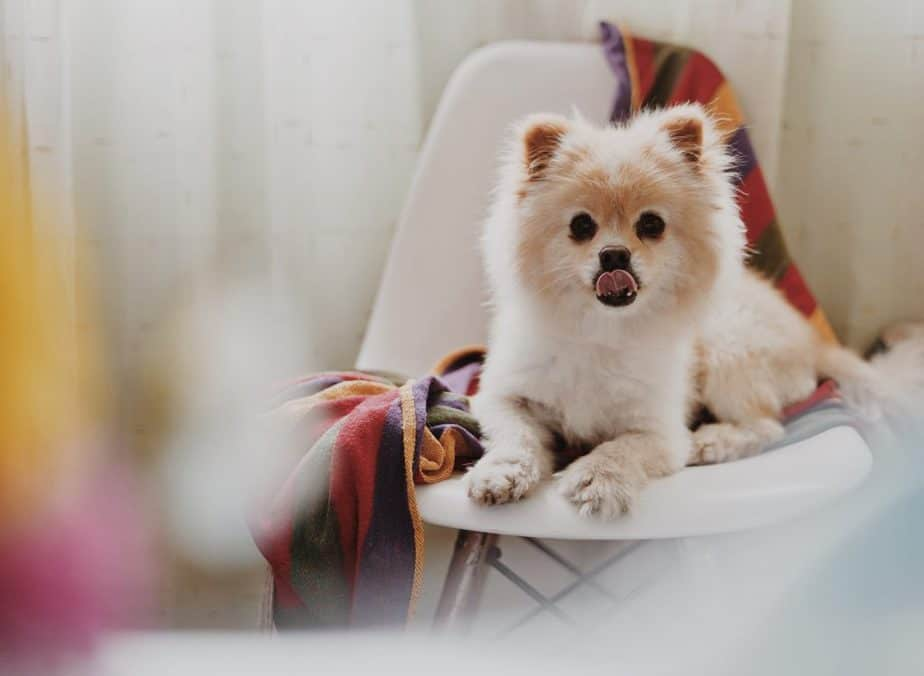 pom on a chair licking its face