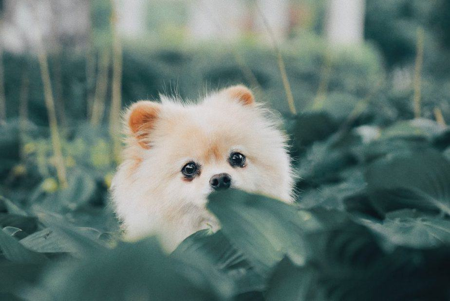 adorable pom