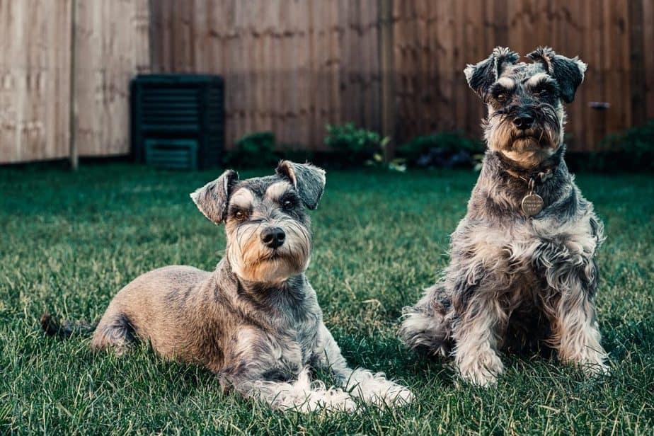schnauzers are also hypoallergenic dogs