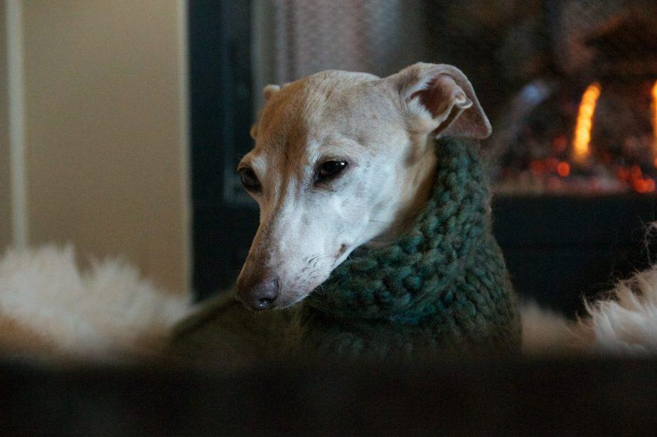 beautiful older italian greyhound