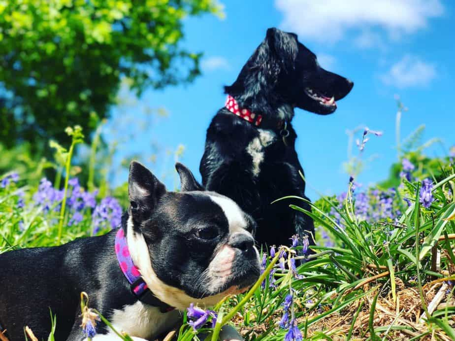 boston terrier and anotehr black dog in the park out in the sun